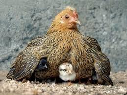 the-hen